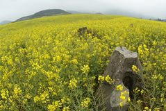 Rock in a Yellow Flower Field Royalty Free Stock Photos