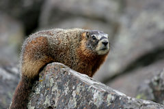 Rockchuck. In yellowstone national park. also known as a ground squirrel and yellow bellied marmot Stock Images