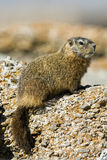 Rockchuck (caligata de Marmota) Photo stock