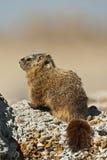 Rockchuck (caligata del Marmota) Imagen de archivo libre de regalías