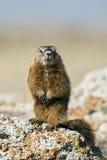 Rockchuck (caligata del Marmota) Foto de archivo