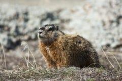 Rockchuck (caligata Marmota) Στοκ φωτογραφίες με δικαίωμα ελεύθερης χρήσης