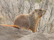 Rockchuck (flaviventris do Marmota) Fotos de Stock Royalty Free