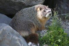 Rockchuck (Marmota flaviventris) Royalty Free Stock Image