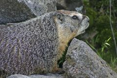 Rockchuck (marmotta Yellow-bellied) Immagini Stock