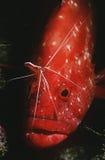 Rockcod de tomate de l'Océan Indien de la Mozambique (sonnerati de Cephalophlis) nettoyé par un plan rapproché plus propre de crev Photographie stock