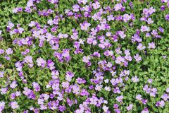 Rockcress flowers in fullframe background. Purple rockcress flowers in fullframe background. vintage retouch of image Stock Photography