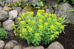 Euphorbia polychroma commonly called as cushion spurge on the ro royalty free stock photography