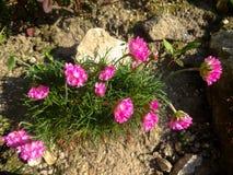 Rockery flowers Stock Photography