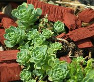 Rockery plant Stock Images
