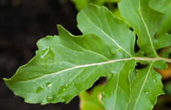 Rocket or Arugula Leaf in the Garden Royalty Free Stock Images