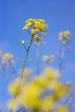 Rocket cress (Barbarea vulgaris) Stock Photo