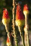 Rocket des Rotes zu den orange Blumen lizenzfreies stockbild