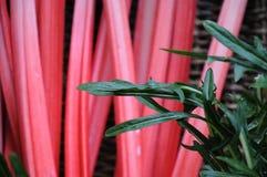 Rocket et rhubarbe Photos stock
