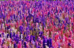 Rocket Flowers porpora & bianco rosa Immagini Stock Libere da Diritti