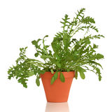 Rocket Herb Plant Royalty Free Stock Photography