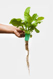 Rocket leaves on a hand Stock Image