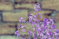 Rocket pica flores em um fundo de uma parede de pedra Imagem de Stock Royalty Free