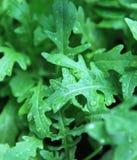 Rocket-Salat - Nahaufnahme. Stockfotos