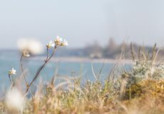 Rocket Saxifrage Saxifraga granulata at the beach stock photography