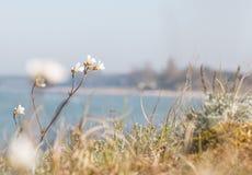 Rocket Saxifrage Saxifraga-granulata am Strand Stockfotografie