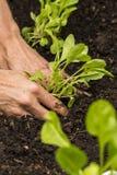 Rocket Seedling stock image