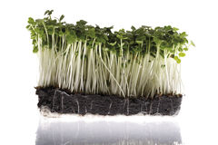 Rocket sprouts Stock Photos