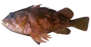 Rockfish γοπχερ Στοκ φωτογραφία με δικαίωμα ελεύθερης χρήσης