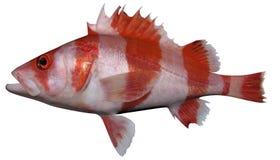 Rockfish σημαιών στοκ εικόνες με δικαίωμα ελεύθερης χρήσης