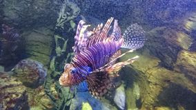 Rockfish royaltyfria foton