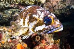Rockfish χαλκού Στοκ εικόνες με δικαίωμα ελεύθερης χρήσης