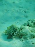 Rockfish Στοκ Εικόνες