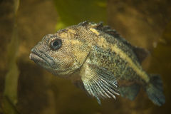 Rockfish Stock Photography