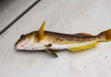 Rockfish in Boat Royalty Free Stock Images