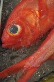Rockfish on ice Royalty Free Stock Image