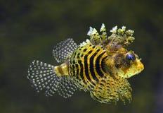 Rockfish underwater Stock Images
