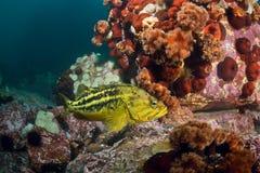 Rockfishes de Threestripe et poulpe caché Image stock
