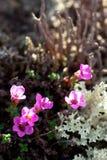 Rockfoil mountain nord polar violet plant Stock Image