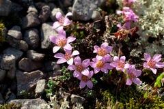 Rockfoil mountain nord polar violet plant Royalty Free Stock Photos