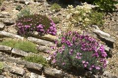 Rockgarden med dianthusen Royaltyfri Bild