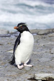 Rockhhopper Penguin Royalty Free Stock Photo