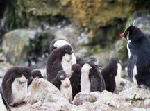 Rockhopper企鹅幼儿园或托婴所 免版税库存图片