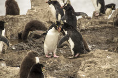 ROCKHOPPER企鹅战斗 免版税库存照片