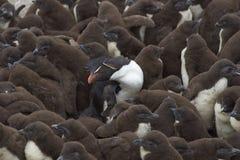 Rockhopper企鹅托婴所-福克兰群岛 免版税库存图片
