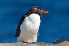 Rockhopper企鹅, Eudyptes chrysocome,与被弄脏的深蓝海在背景中,海狮岛,福克兰群岛 野生生物美洲黑杜鹃 图库摄影