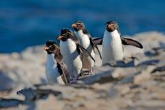 Rockhopper企鹅, Eudyptes chrysocome,与被弄脏的深蓝海在背景中,海狮岛,福克兰群岛 野生生物美洲黑杜鹃 免版税库存图片