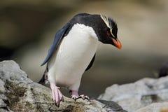 Rockhopper企鹅, Eudyptes chrysocome,在岩石自然栖所,黑白海鸟,海狮岛,福克兰群岛 免版税库存照片