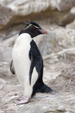 Rockhopper企鹅-福克兰群岛 免版税库存照片