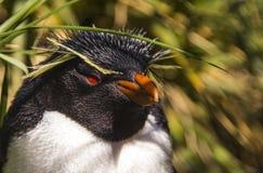 Rockhopper企鹅 库存照片