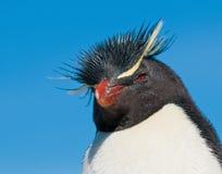 Rockhopper penguin. Cute rockhopper penguin close-up portrait Stock Image
